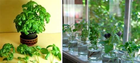 most difficult plants to grow herbs you can grow indoors in water all year long hfs tips