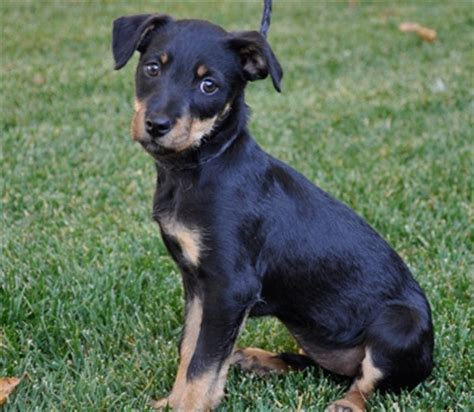 chihuahua mixed with rottweiler rottweiler and chihuahua mix cutie pies