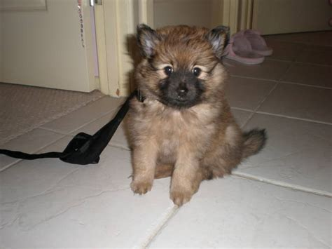 pomeranian puppies gold coast purebred pomeranian for sale adoption from gold coast queensland adpost