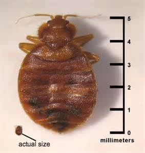 what do bed bugs look like faq