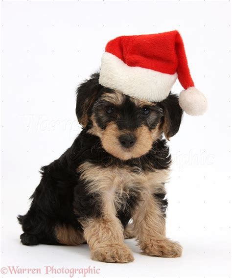 1000 images about my favorite puppy christmas photos on