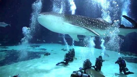 dive with whale sharks scuba diving with whale sharks aquarium