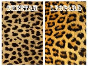 Difference Between Leopard And Cheetah And Jaguar Sassy Saffy Bring The To Work Don A Skin That Suits