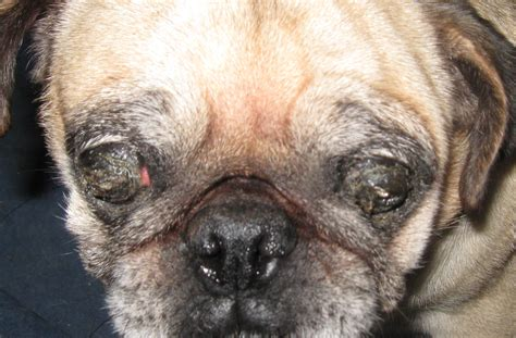 caleb pugs pugs eye problems