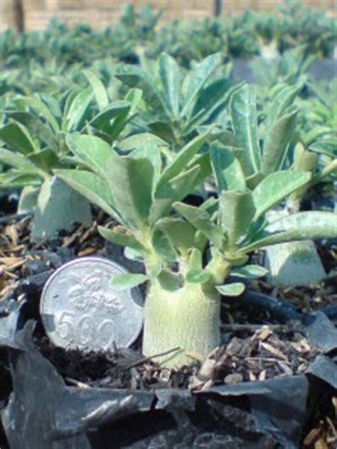Bibit Adenium Bunga Putih gema wirausaha cara menanam bunga adenium