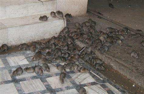 house rat house rats