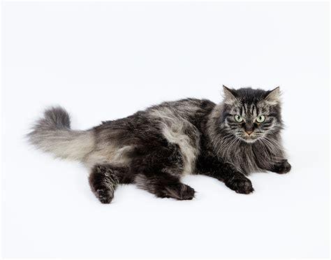 Modern Cat Tree by Siberian Cat Wikipedia