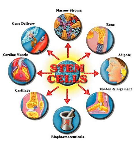 stem cell diagram cell repair