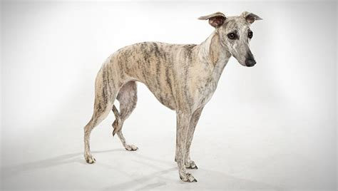 whippet breed whippet breed selector animal planet