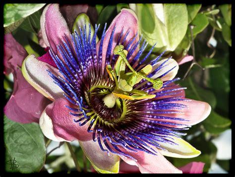 passiflora granadilla passion flower passionfruit