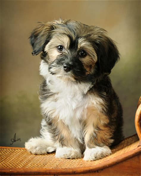 havanese puppies minnesota havanese puppies havanese studs havanese breeders minnesota havanese chion puppies
