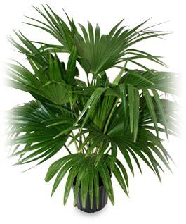 fan palm care alpha botanical fan palm plant care profile