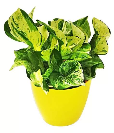where can i buy house plants where can i buy house plants in bangalore for a cheap price quora