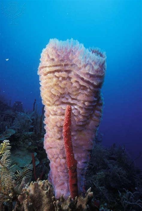 Pink Vase Sponge by Pink Vase Sea Sponge In Honduras Underwater Creatures