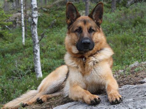 Le Berger le berger allemand n est plus le chien pr 233 f 233 r 233 des