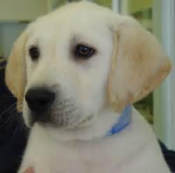 Labrador retriever 5536 available puppies labrador retriever labrador