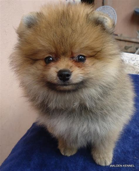 pomeranian puppy price in hyderabad pomeranian puppies for sale yousuf khaja 1 12727 dogs for sale price of puppies