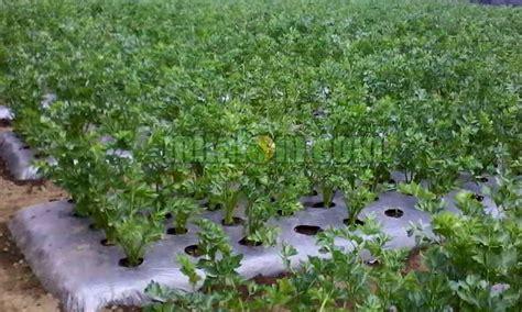 Bibit Sayuran Seledri 8 cara budidaya menanam seledri dengan batang biji agar