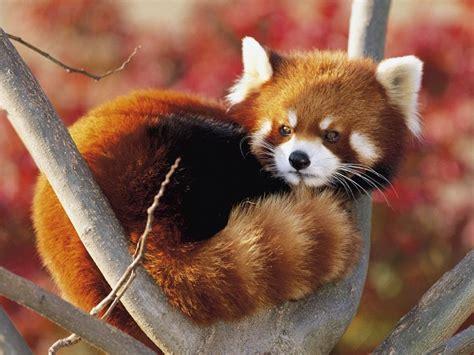 read panda help save the panda