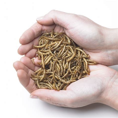 live mealworms for birds buy online at vine house farm