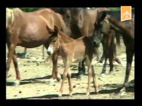 burros con yeguas faltan burros y yeguas en cuba para criar mulos youtube