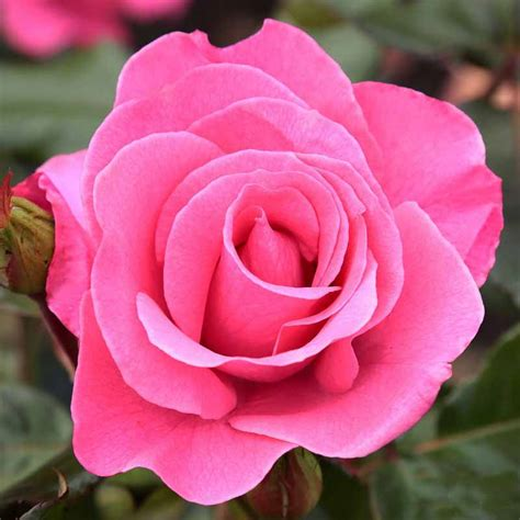 Jual Biji Bunga Mawar Pelangi jual benih bibit biji bunga pink import mawar
