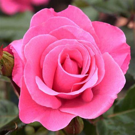 Jual Bibit Bunga Inpor jual benih bibit biji bunga pink import mawar jogja florist