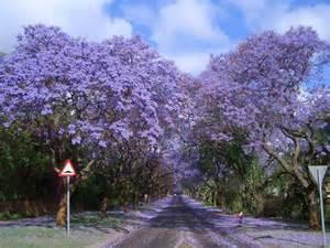 jacaranda trees koshersamurai