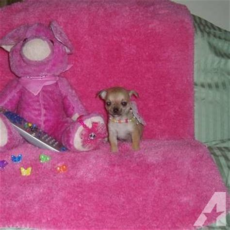 chihuahua puppies for sale in arkansas teacup chihuahua puppies chihuahua puppy and smooth for sale in