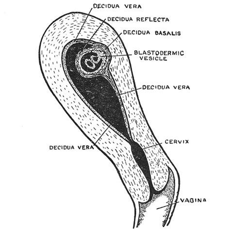 sections of the uterus human embryology and morphology 2 embryology