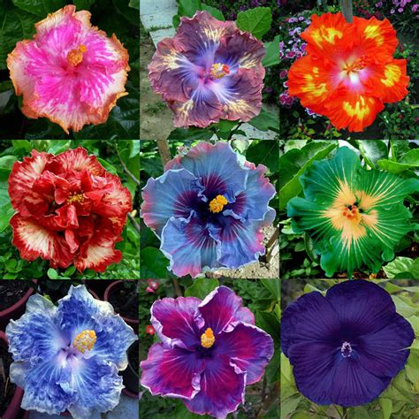 what color is hibiscus hardy hibiscus colors images
