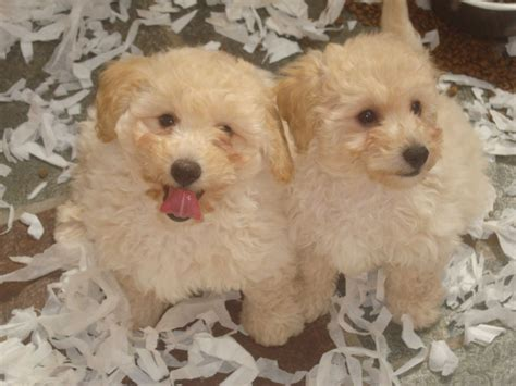 teddy puppy f1 hybrid poochon puppies poo bichon poodle and bichon poo teddy breeds picture