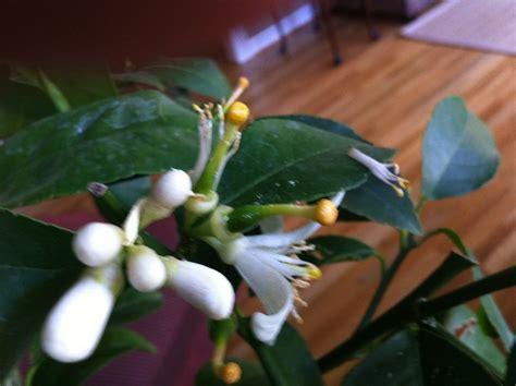 How To Grow Indoor Garden - meyer lemon tree growing and fertilizing growing in my gardengrowing in my garden