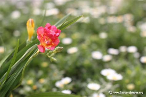 pictures of flowers freesia flower picture 22