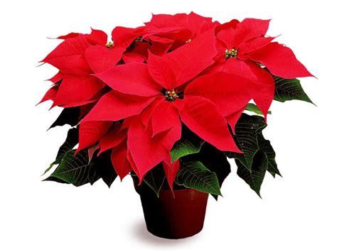 imagenes flores de nochebuena 8 de diciembre d 237 a nacional de la flor de nochebuena