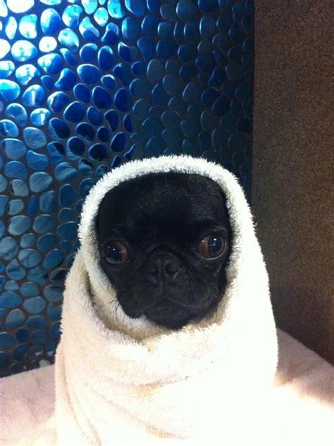 pug like black pug pug pics