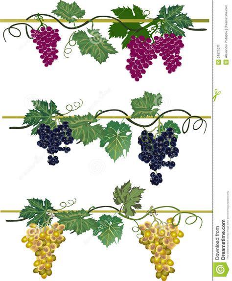 uva colors collcetion de tres uvas de los colores ilustraci 243 n