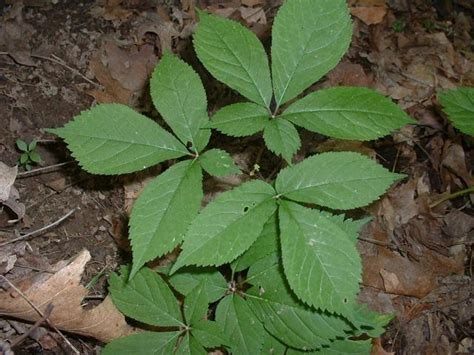 Ginseng Seed Planter by Panax Quinquefolius Seeds 163 2 48 From Chiltern Seeds