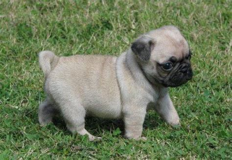 rescue dogs pugs pug puppies rescue pictures information temperament characteristics animals
