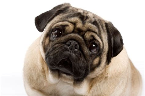 how pugs are made picture pug breed information and photos thriftyfun