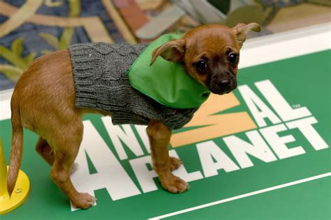 puppy bowl mvp puppy bowl xiii 2017 recap mvp highlights and reaction bleacher report