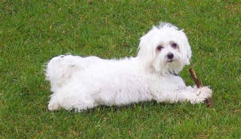 maltese puppy has wavy hair after first hhairas ir cut maltese puppy has wavy hair after first hhairas ir cut
