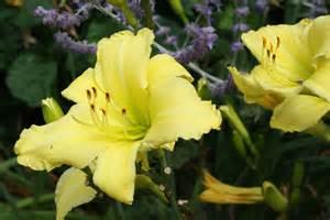 Daylilies Daylilies Uri Botanical Gardens Blog