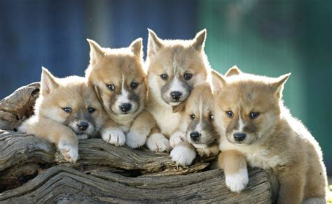 dingo puppy dingo puppies fluffy friday reveal