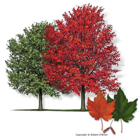 maple red150 jpg drummond maple arbor day trees 2014 trees and maple tree