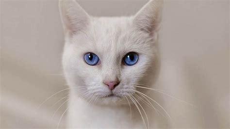 imagenes en blanco de gatos gatos blancos con ojos azules