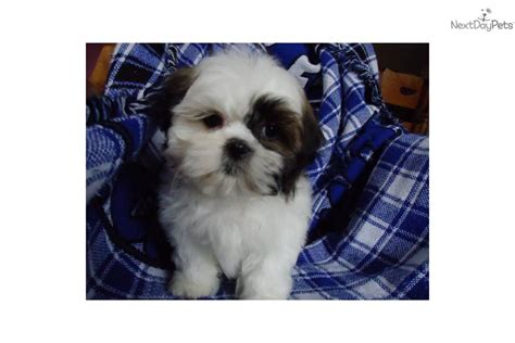 shih tzu puppies omaha pictures