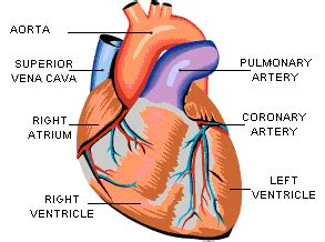 the four hollow sections of the heart epicardium causes symptoms treatment epicardium