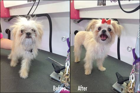 yorkie puppy cut before and after s grooming palace