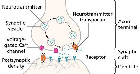 across fiber pattern theory definition neurotransmission wikipedia